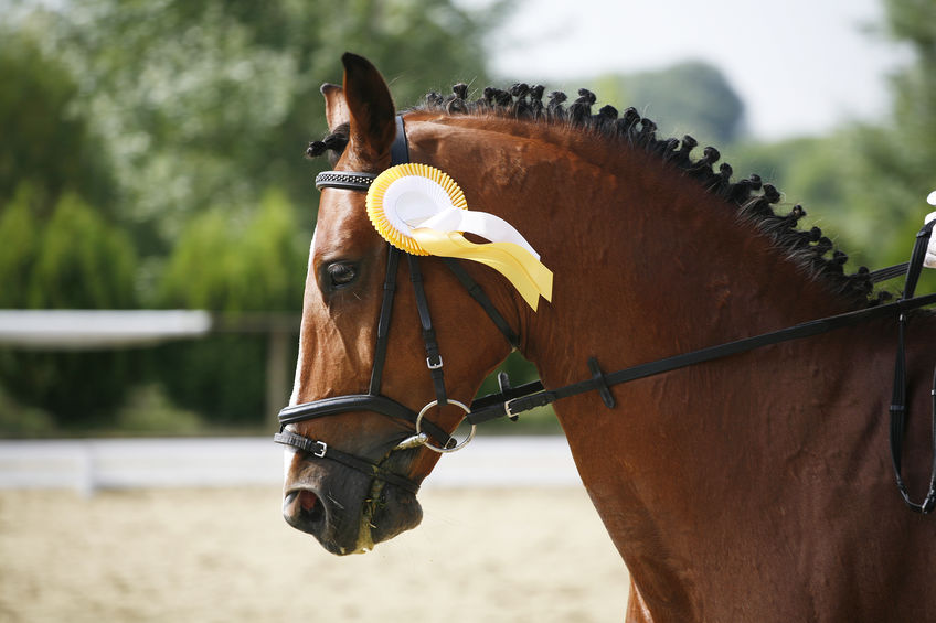 Portrait of a beautiful award-winning horse in the arena