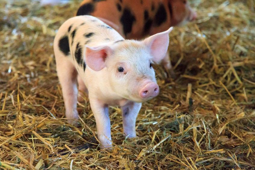 new born piglet