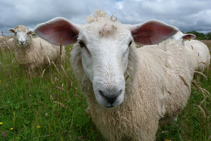 New Romney lamb with large ears in a field