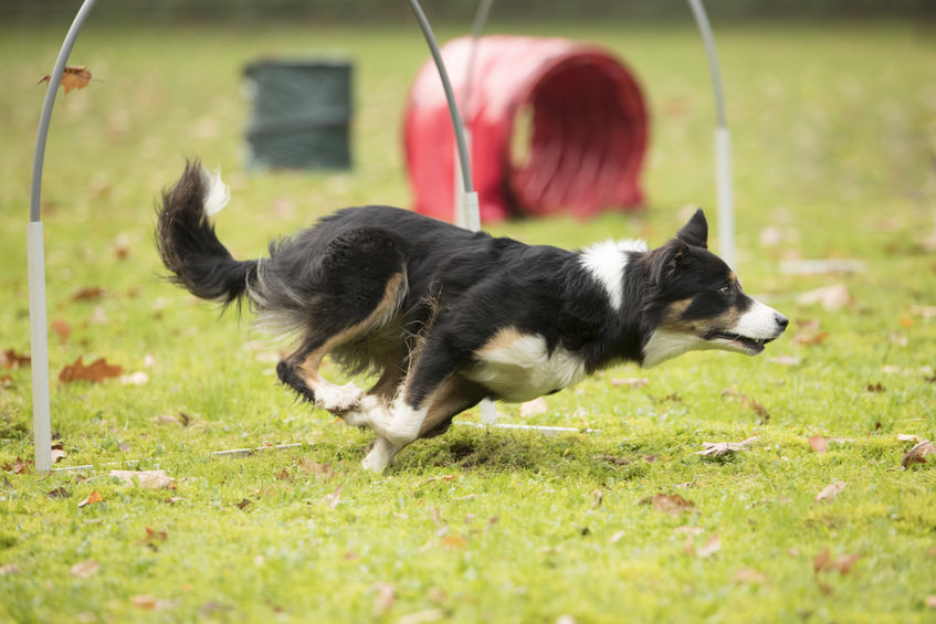 Border Collie, running in agility competition