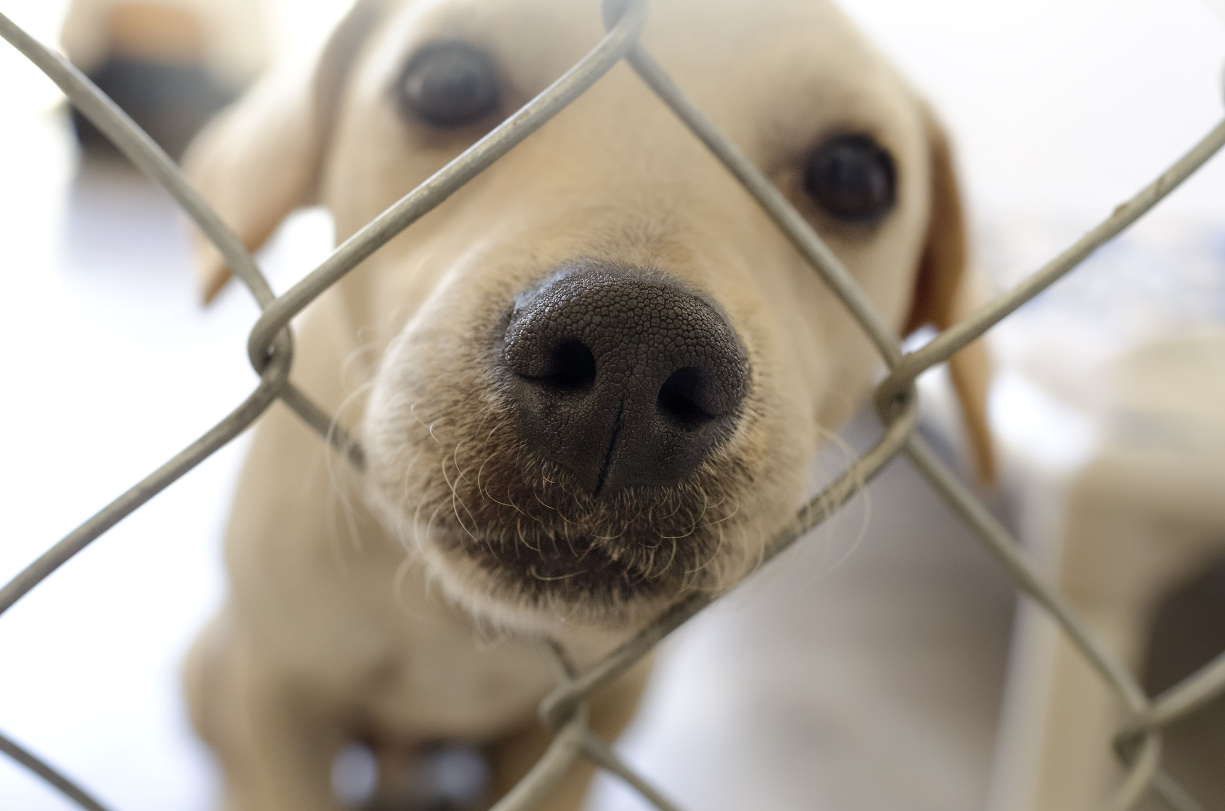 Curious dog is a dog poking his nose through a fence curiously wondering what's going on