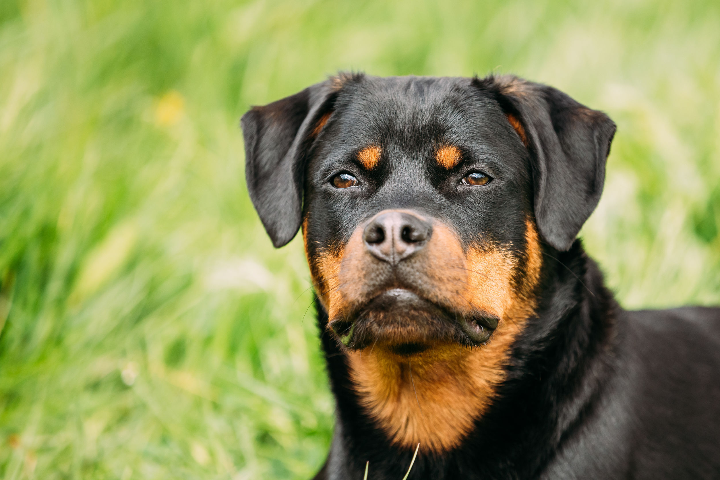 Young Black Rottweiler Metzgerhund Puppy Dog Play In Green Grass