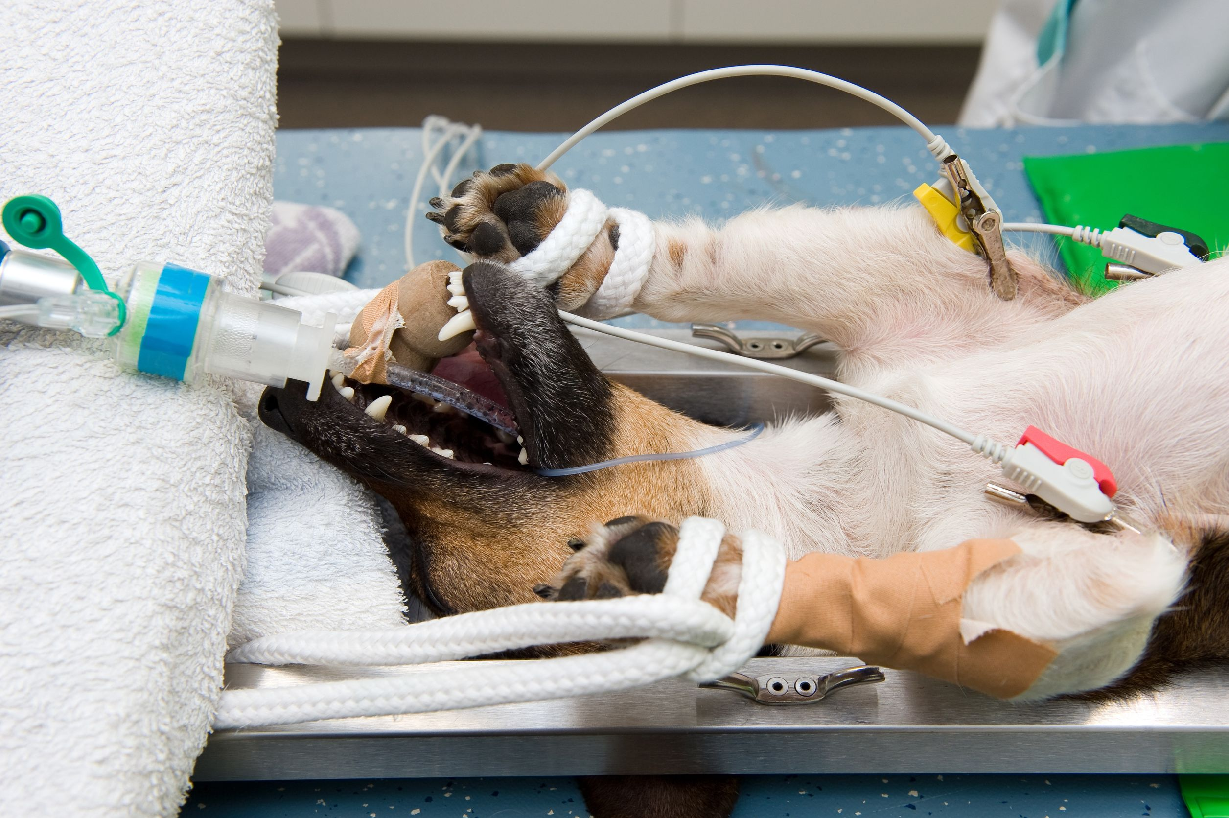 A dog in lying unconscious in a veterinarian clinic while a surgeon is sterilizing her
