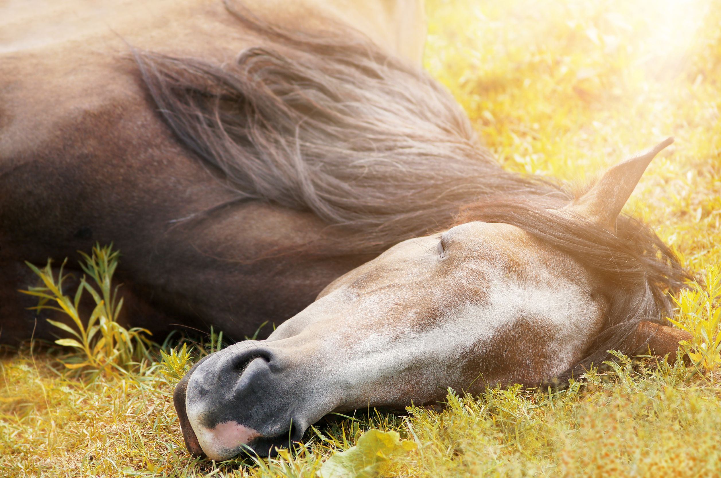 Sleeping horse on autumn grass in sunlight