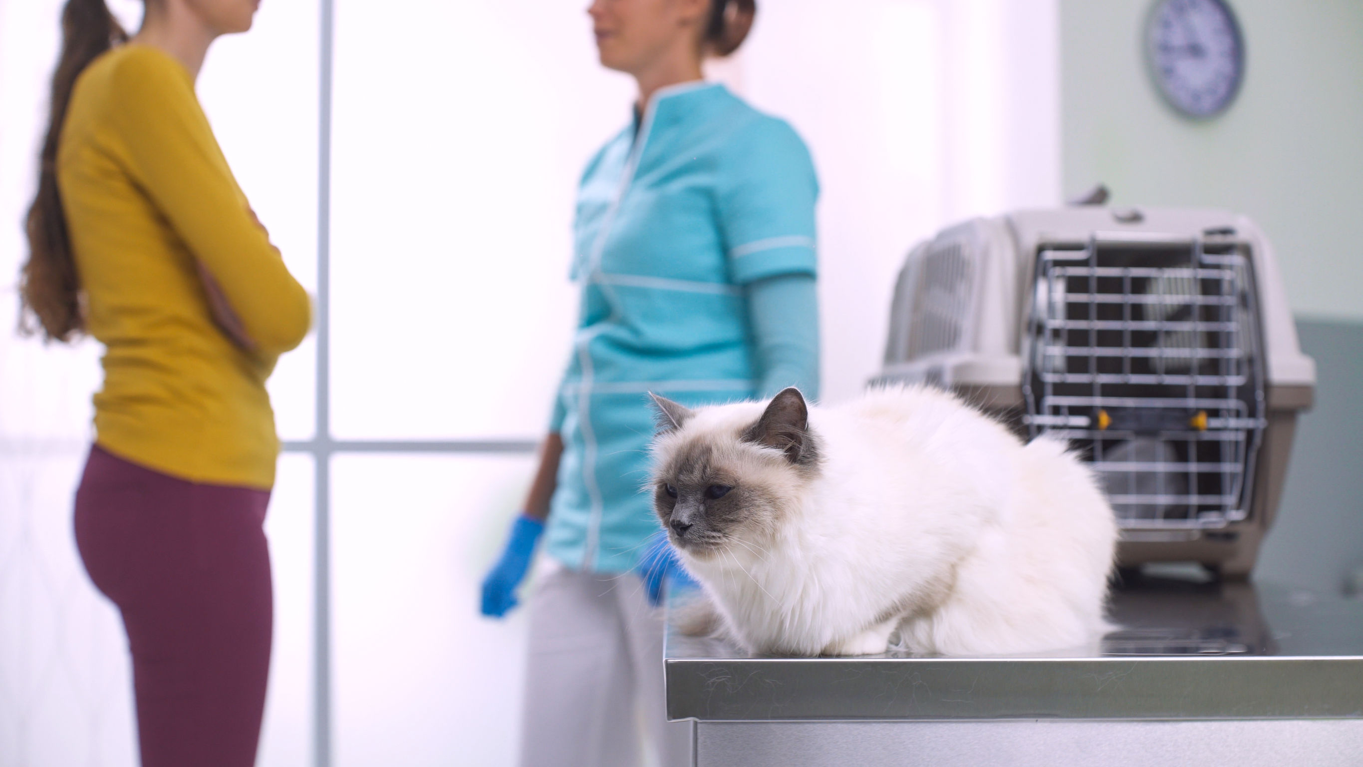 Beautiful long hair cat at the vet clinic, its owner and the doctor are talking in the background