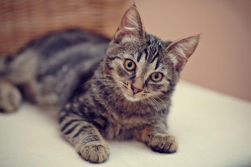 Nice striped domestic kitten domestic kitten with yellow eyes