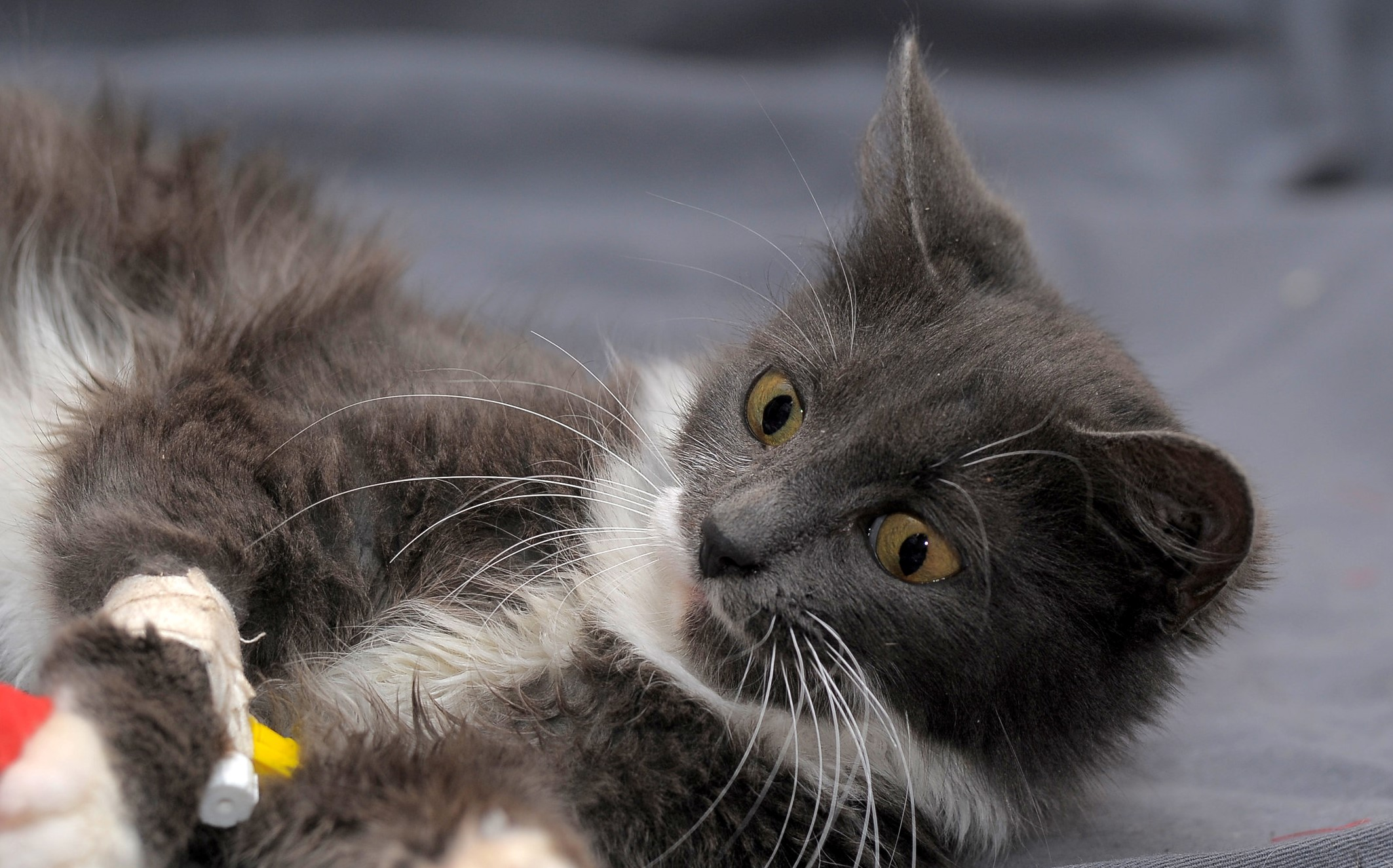 Beautiful gray with a white cat with a catheter on its paw