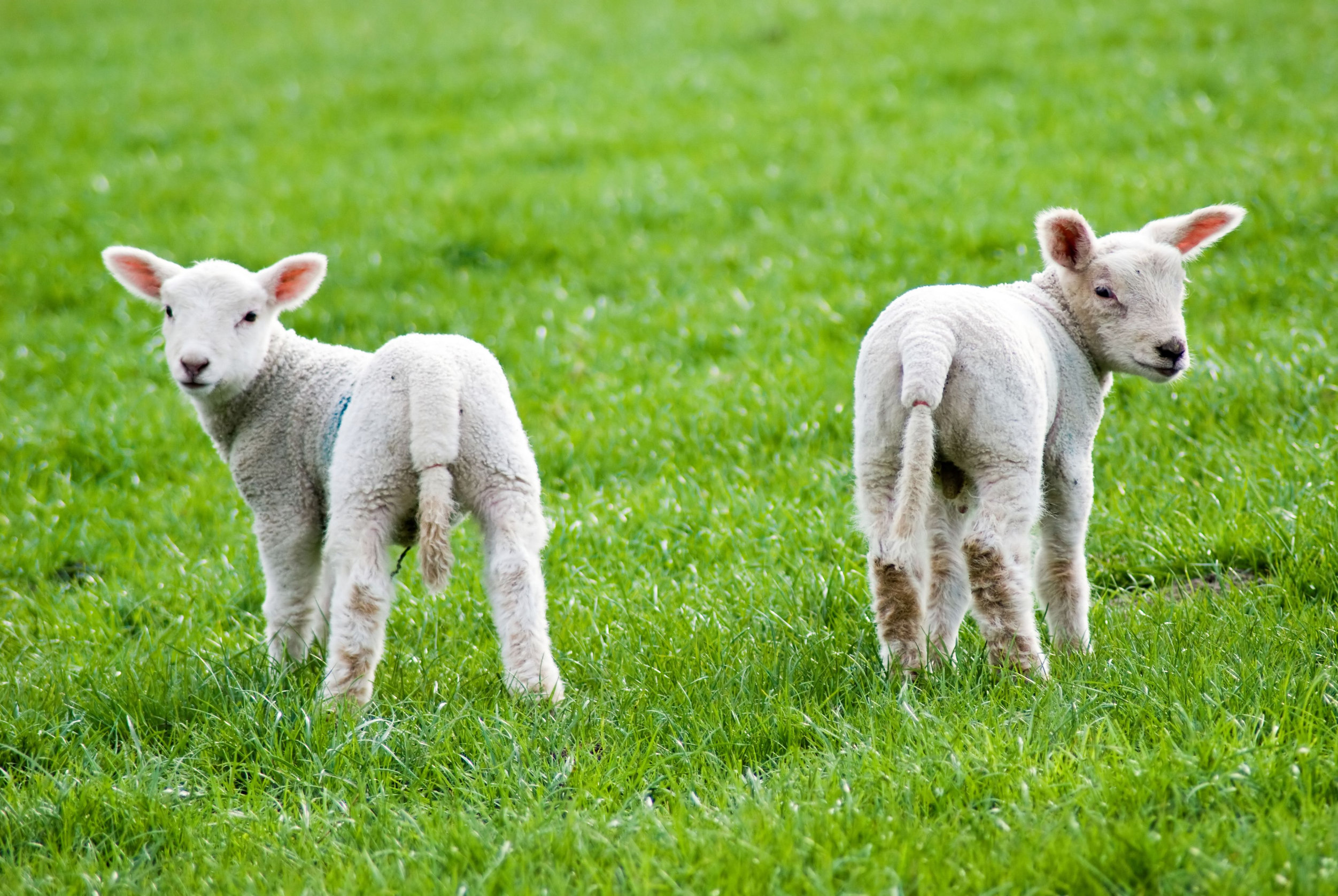 Two spring lambs turning round to face viewer