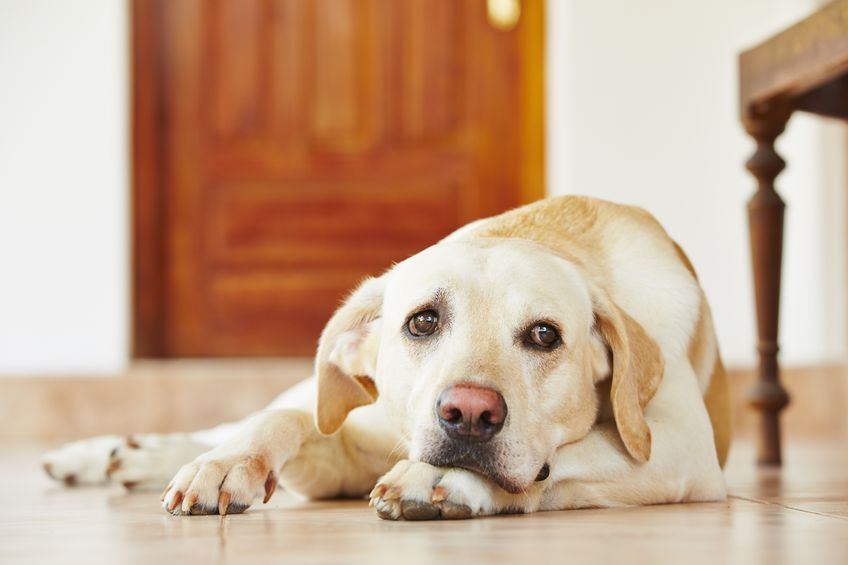 lab dog