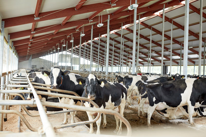 bedding cubicles for dairy cows
