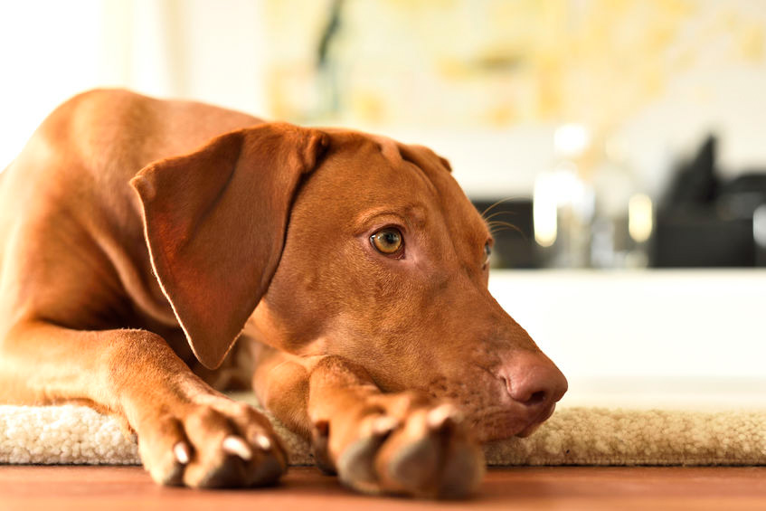 Hungarian Viszla dog image